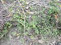 Trifolium campestre habit2 (10620966365).jpg