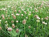 Trifolium fragiferum (subsp. fragiferum) sl11.jpg