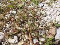 Trifolium resupinatum sl1.jpg