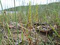 Triglochin striata plant4 - Flickr - Macleay Grass Man.jpg