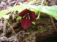 Trillium vaseyi, The Sugarlands, Great Smoky Mountains National Park, Tennessee - 20070326