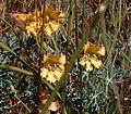 Tropaeolum incisum flowergroup 2.jpg