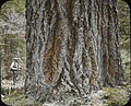 Trunk of fir tree (3679674598).jpg