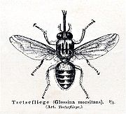 ذبابة التسي تسي 180px-Tsetsemeyers1880