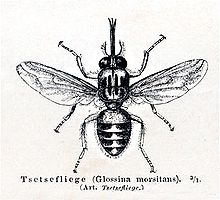 https://upload.wikimedia.org/wikipedia/commons/thumb/5/54/Tsetsemeyers1880.jpg/220px-Tsetsemeyers1880.jpg