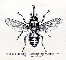 Glossina