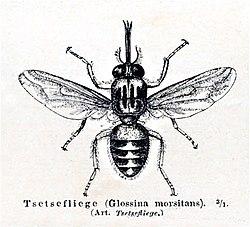 Mouche tsé-tsé (Glossina sp.)