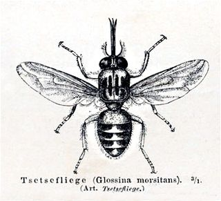 Tsetse fly genus of insects