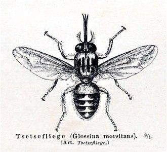 Tsetse fly - Tsetse fly