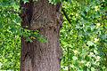 Tulip tree (5762193541).jpg