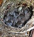 Turdus merula -England -chicks in nest-8 (3).jpg