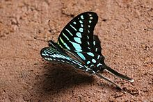 Turquoise-spotted swallowtail (Graphium policenes).jpg
