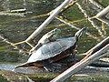 Turtle & frog (6893887567).jpg