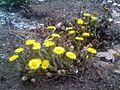 Tussilago - Tussilage - Coltsfoot (5671421300).jpg
