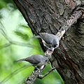 Two Tufted Titmice (5828495652).jpg