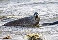 Due foche nell'acqua.jpg