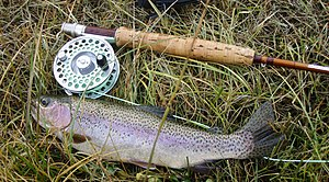 Typical Firehole River Rainbow Trout (Released)