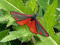 Tyria jacobaeae. Cinnabar Moth (20118134076).jpg
