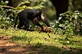 Uday Kiran Lion-tailed macaque lifting a stone for invertibrates.jpg