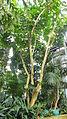 Umbrella Tree2013.JPG