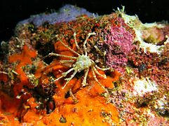 A spider crab of the family Majoidea (maybe Naxioides taurus)