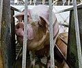 Undercover Investigation at Manitoba Pork Factory Farm (8250068619).jpg