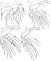 Unicolax longicrus (10.7717-peerj.6858) Figure 9.png