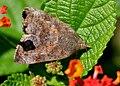 Unided Moth W IMG 1156.jpg