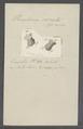 Urceolaria cirrata - - Print - Iconographia Zoologica - Special Collections University of Amsterdam - UBAINV0274 113 21 0013.tif