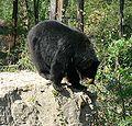 Ursus americanus.jpg