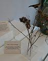 Uzarzewo Museum ( Snare birds. Used horse hair).JPG
