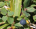 Vaccinium uliginosum (fruits).JPG