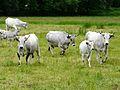 Vaches Antignac (3).JPG