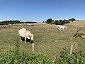 Vaches Pré Route Sauzey Bey Ain 6.jpg