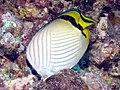 Vagabond Butterflyfish, Bunaken Island.jpg
