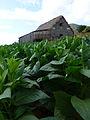 Vallée de Viñales-Plantation et séchage du tabac.jpg