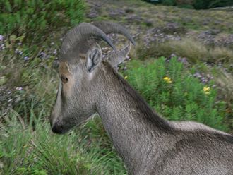 Munnar - A Nilgiri tahr (scientific name:Nilgiritragus hylocrius) at Rajamalai near Munnar