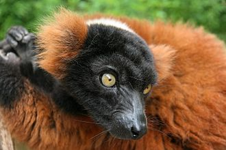 Red ruffed lemur - Red ruffed lemur in detail