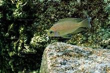 Variabilichromis Moorii : Variabilichromis moorii - Wikipedia
