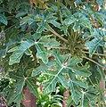 Vasconcellea pubescens.jpg