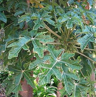 Mountain papaya - Leaves of Vasconcellea pubescens