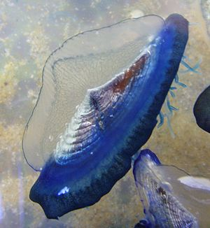 Animal locomotion - Velella moves by sailing.