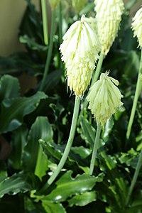 V. bracteata, stor vinterraket