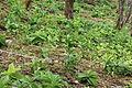 Veratrum album subsp. oxysepalum leaves.JPG