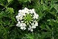 Verbena x hybrida Babylon White 0zz.jpg