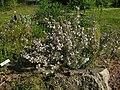 Vernonia baldwinii 001.jpg