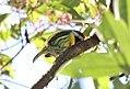 Versicolored Barbet (Eubucco versicolor).jpg