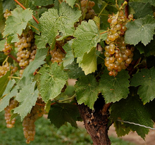 Vidal grapes.png