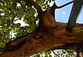 Vieux pommier demie-écorce survie Authie aout 2017 02.jpg