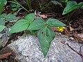 Vigna angularis var. nipponensis.JPG